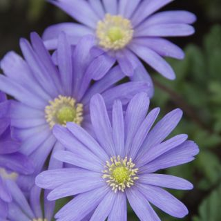Anemone blanda 'Blue Shades' (Blauwe anemoontjes, Oosterse anemoon)