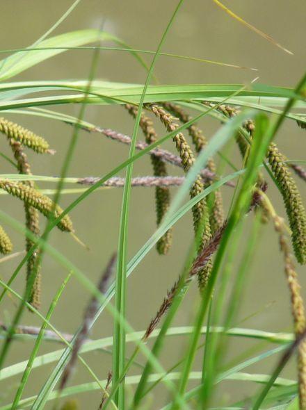 Carex riparia (Oeverzegge) per 3 stuks