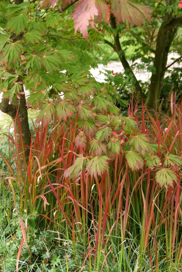 Imperata cylindrica Red Baron (Japans bloedgras) - p9