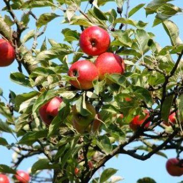 verzorging van fruitbomen