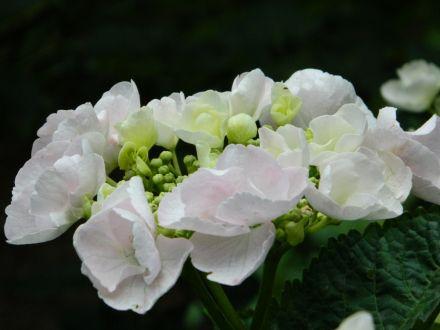 Hydrangea macrophylla 'Hobella' ('Hobella', Toverbal-hortensia)