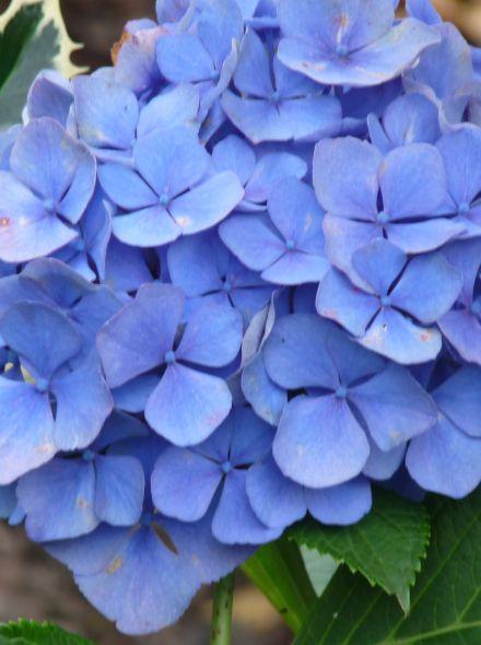 Hydrangea macrophylla Endless Summer - BLUE (Blauwe hortensia)