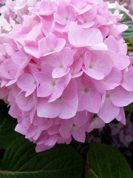 Hydrangea macrophylla Endless Summer PINK (Roze bolvormige hortensia)