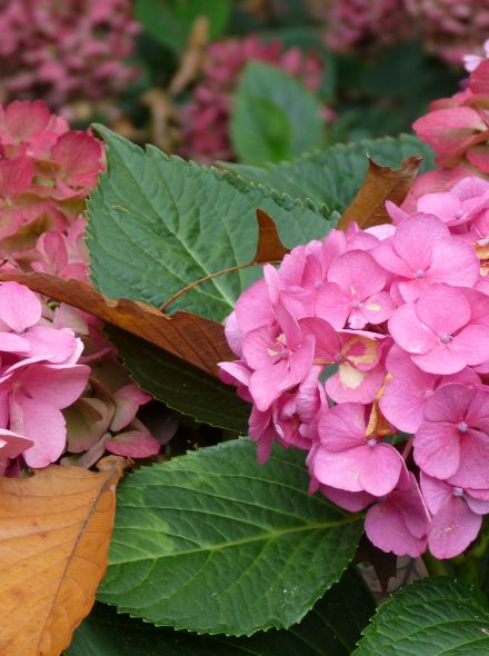 Hydrangea macrophylla Freudenstein (Roze bolvormige hortensia)