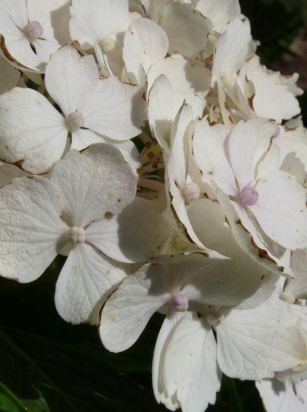 Hydrangea macrophylla Madame Emile Mouillere (Witte geurende bolvormige hortensia)