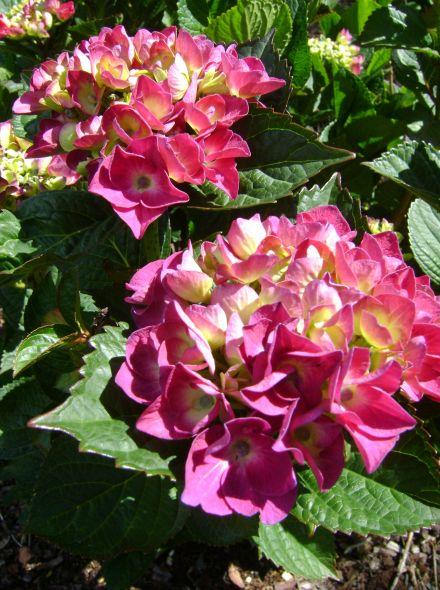 Hydrangea macrophylla Merveille Sanguine (Rozerode bolvormige hortensia)