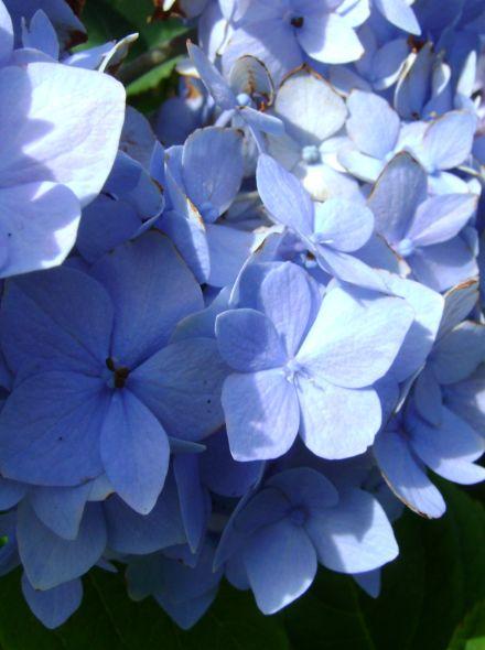 Hydrangea macrophylla Nikko Blue (Helderblauwe bolvormige hortensia)