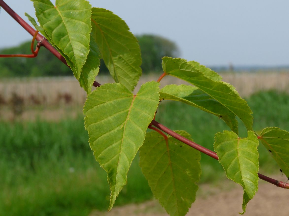 Acer davidii (Chinese esdoorn, Davids esdoorn, Slangenhuidesdoorn)