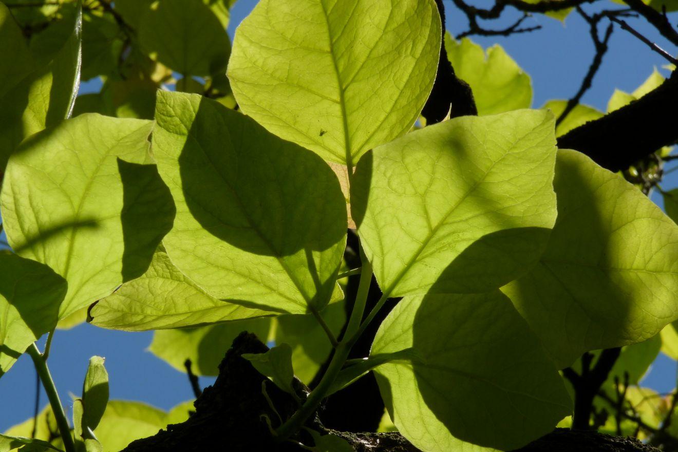 Catalpa bignonioides 'Aurea' (Trompetboom geelbladig)