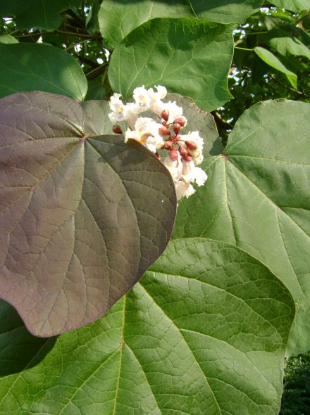Catalpa erubescens 'Purpurea' (Trompetboom paars-bladig)