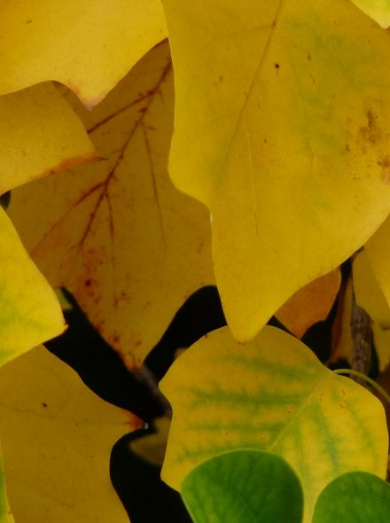 Leiboom Tulpenboom (Liriodendron tulipifera)