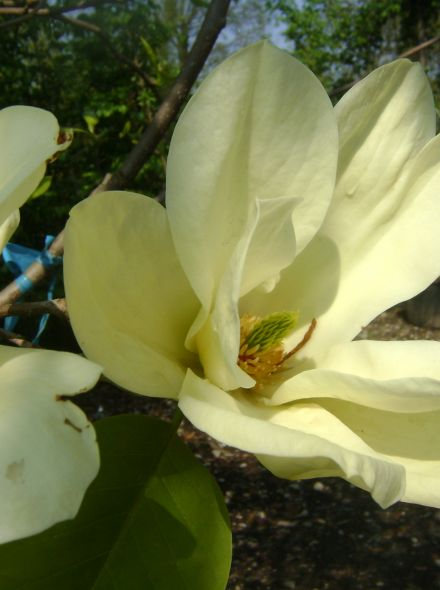 Magnolia 'Yellow River' (Beverboom of Valse Tulpenboom)