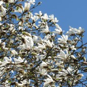 Magnolia kobus - 12-14 draadkluit (Beverboom of Valse Tulpenboom)