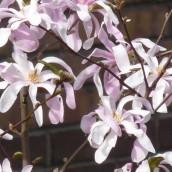 Magnolia stellata 'Rosea' (Stermagnolia, Beverboom, Valse Tulpenboom)