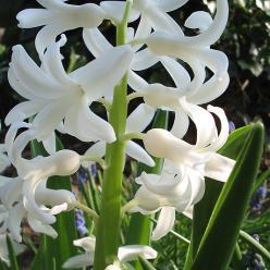 Hyacinthus 'L'Innocence' - Witte hyacint