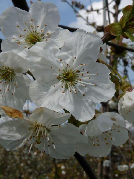 Lei-kers Regina (Prunus avium Regina, leivorm)