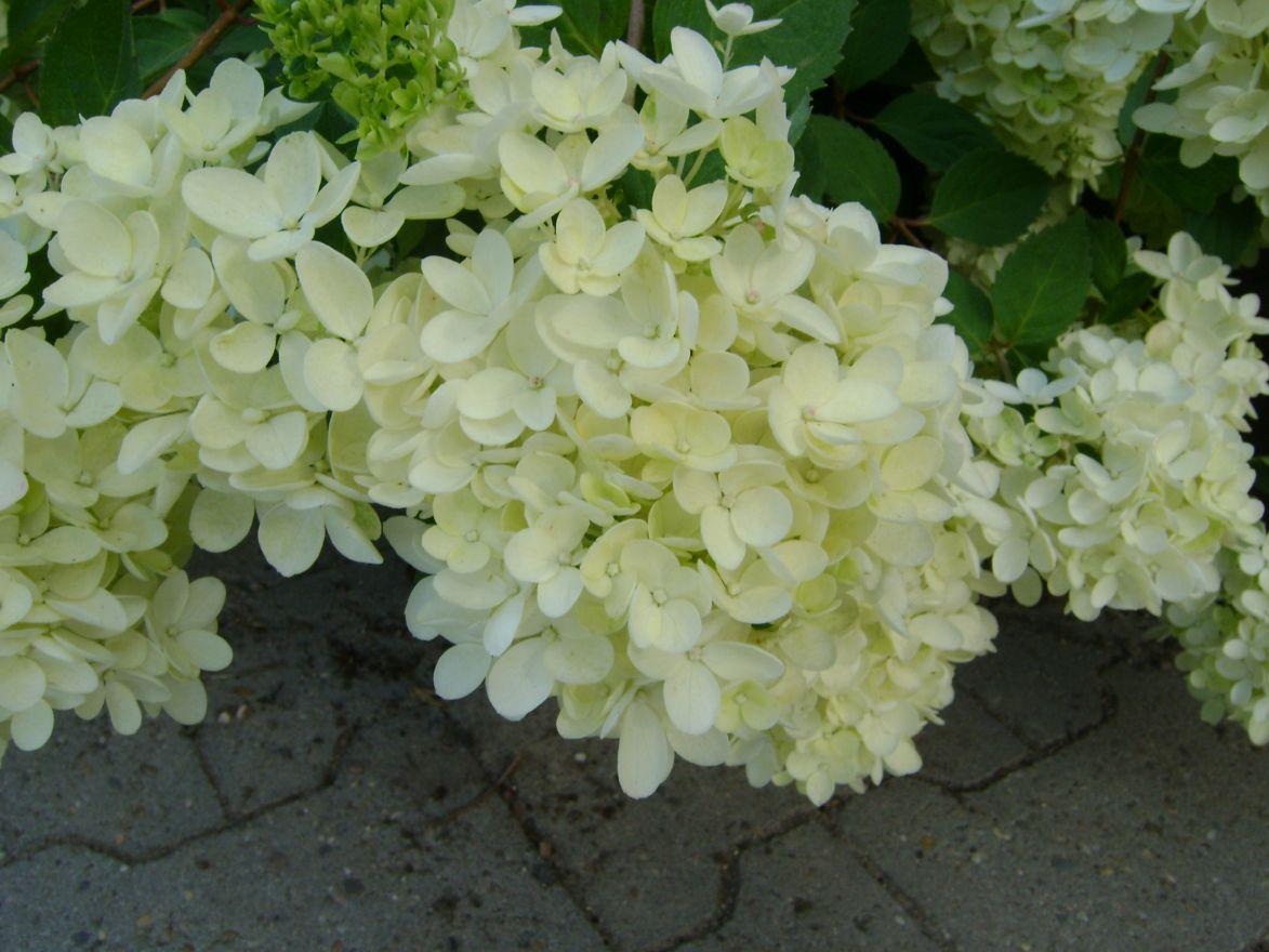 Hydrangea paniculata Bombshell (Pluimhortensia)