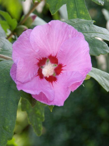 Hibiscus syriacus 'Coelestis' (Altheastruik, Tuinhibiscus)