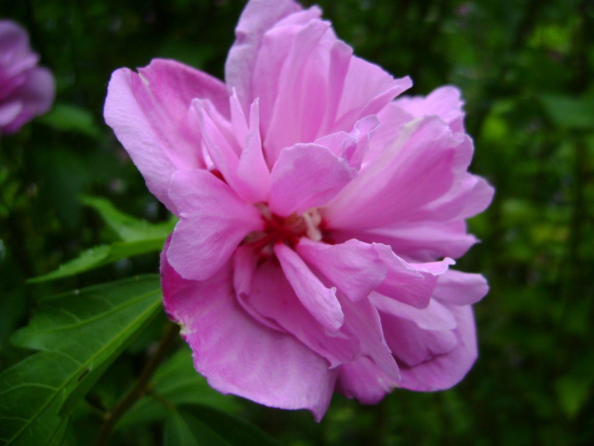 Hibiscus syriacus 'Ardens' (Altheastruik, Tuinhibiscus)