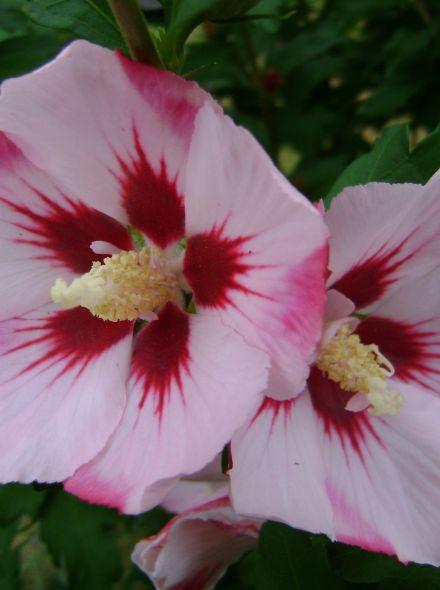 Hibiscus syriacus 'Hamabo' (Altheastruik, Tuinhibiscus)