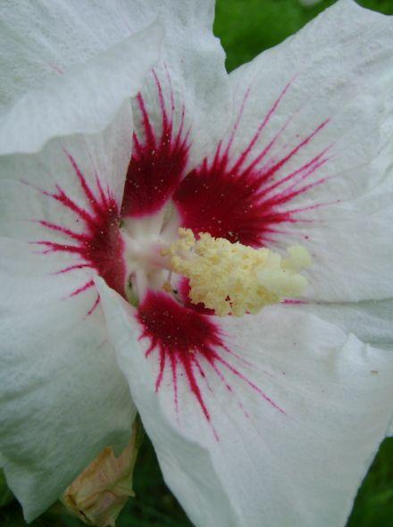 Hibiscus syriacus 'Monstrosus' (Altheastruik, Tuinhibiscus)