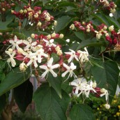 Clerodendrum trichotomum (kansenboom, pindakaasboom) 80/100 cm