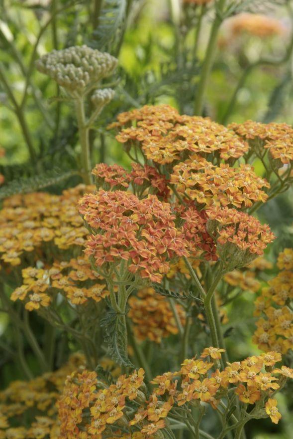 Achillea millefolium 'Terracotta' (Duizendblad)