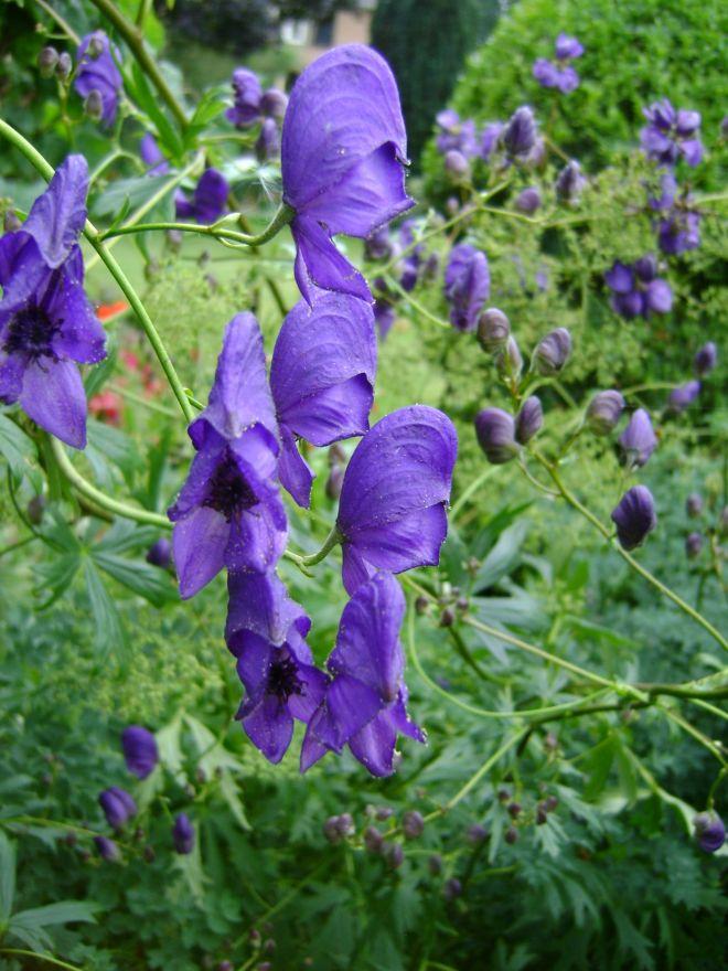 Aconitum henryi 'Spark's Variety' (Monnikskap)