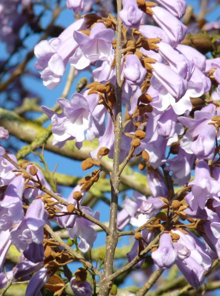 Paulownia tomentosa (keizersboom of Anna Paulownaboom)