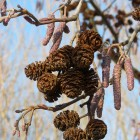 Alnus glutinosa (zwarte els) - 10-12 cm in pot