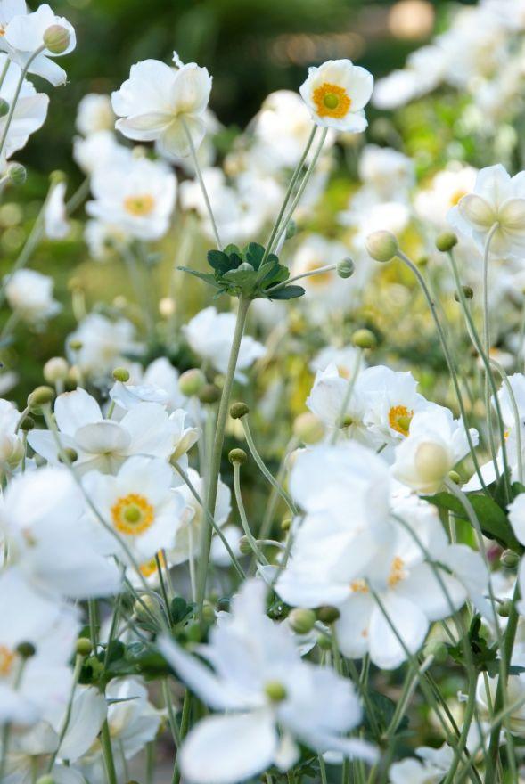 Anemone hybrida 'Honorine Jobert' (Herfstanemoon)