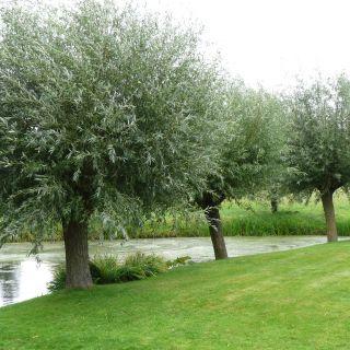 Salix alba (Schietwilg, Knotwilg) - 12-14 cm wrtg