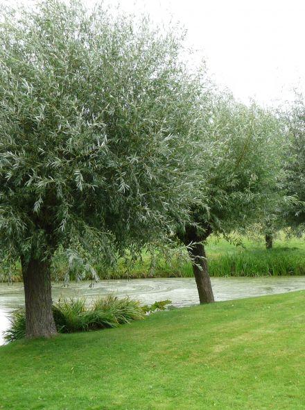 Salix alba (Schietwilg, Knotwilg)