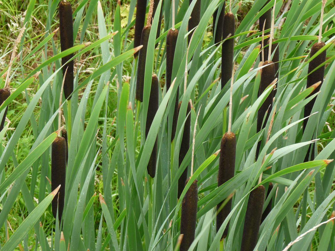 Typha latifolia (Grote Lisdodde) per 3 stuks