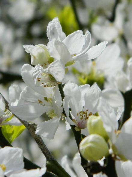 Poncirus trifoliata (Winterharde citroen, driebladige citroen) - 40/50 cm