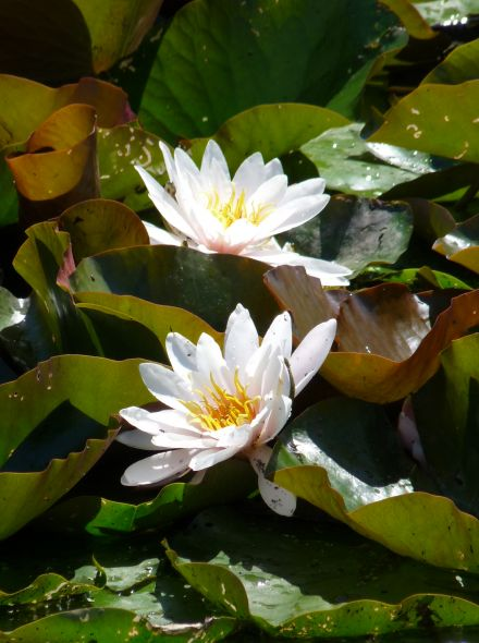 Nymphaea Alba  (Inheemse witte waterlelie) losse knol
