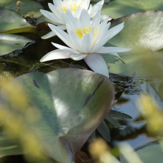 Nymphaea Marliacea Albida (witte waterlelie)