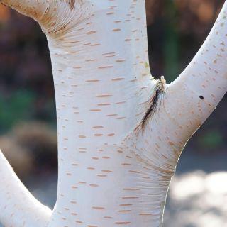 Betula utilis subsp. jacquemontii (Witte Himalayaberk)