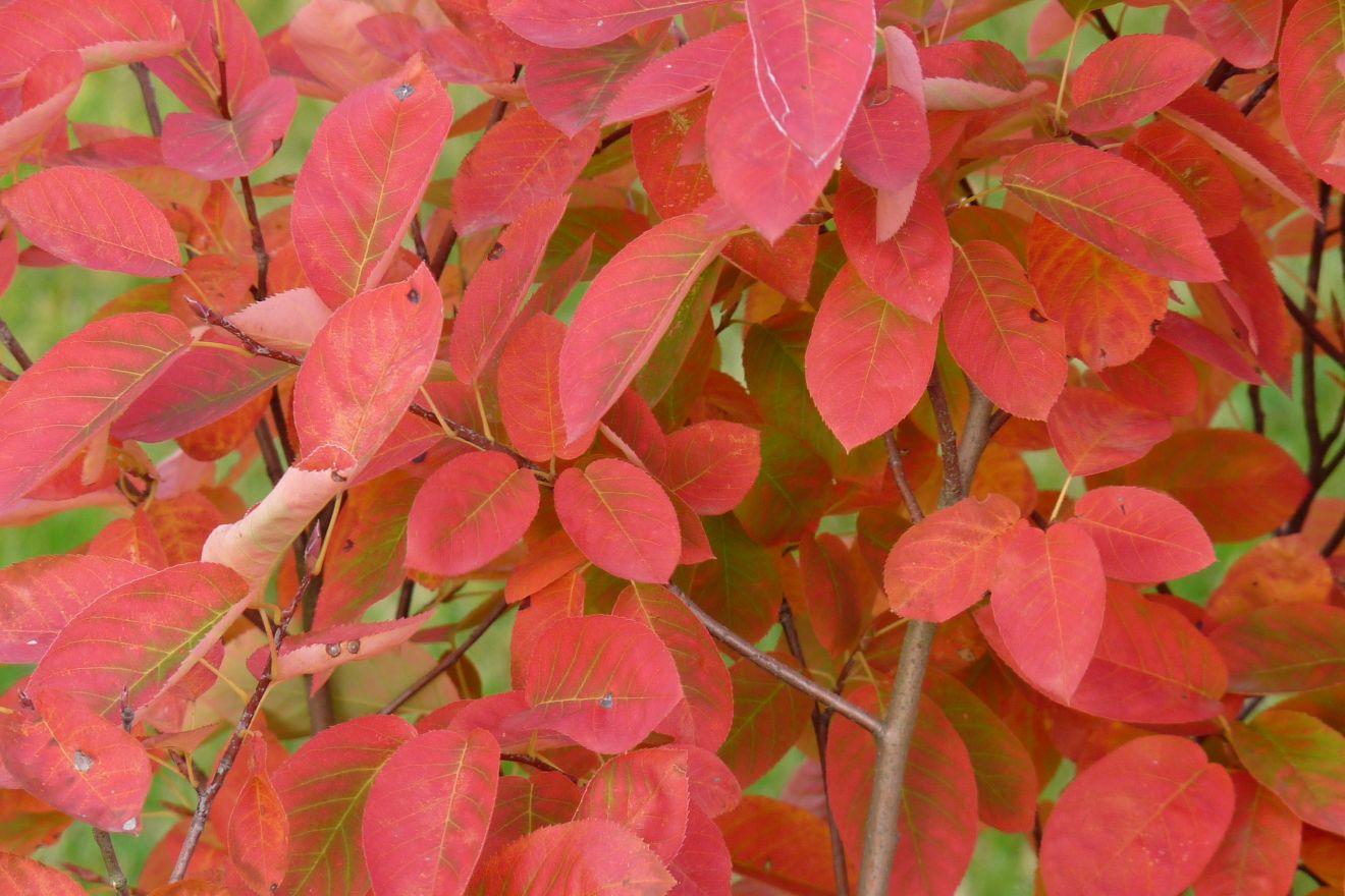 Amelanchier lamarckii (krentenboompje)