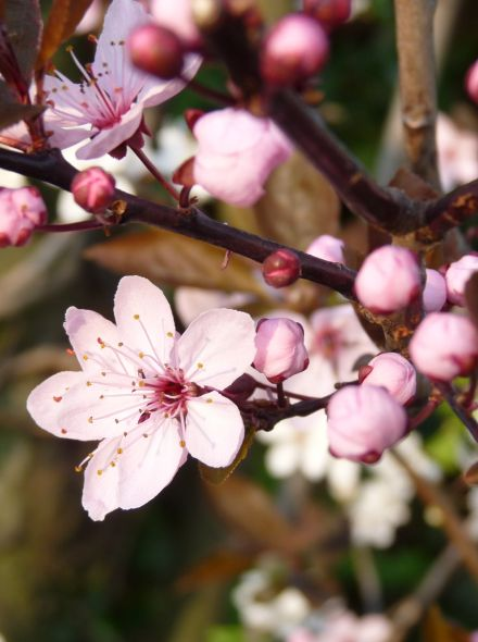 Rode kerspruim leiboom (Prunus cerasifera 'Nigra')