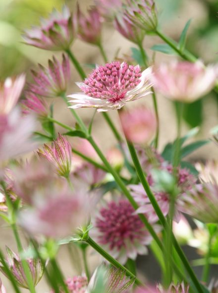 Astrantia major 'Roma' (Zeeuws knoopje, Groot sterrenscherm)