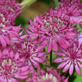 Astrantia major Claret (Zeeuws knoopje, Groot sterrenscherm)