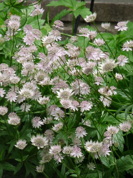 Astrantia major (Zeeuws knoopje, Groot sterrenscherm)