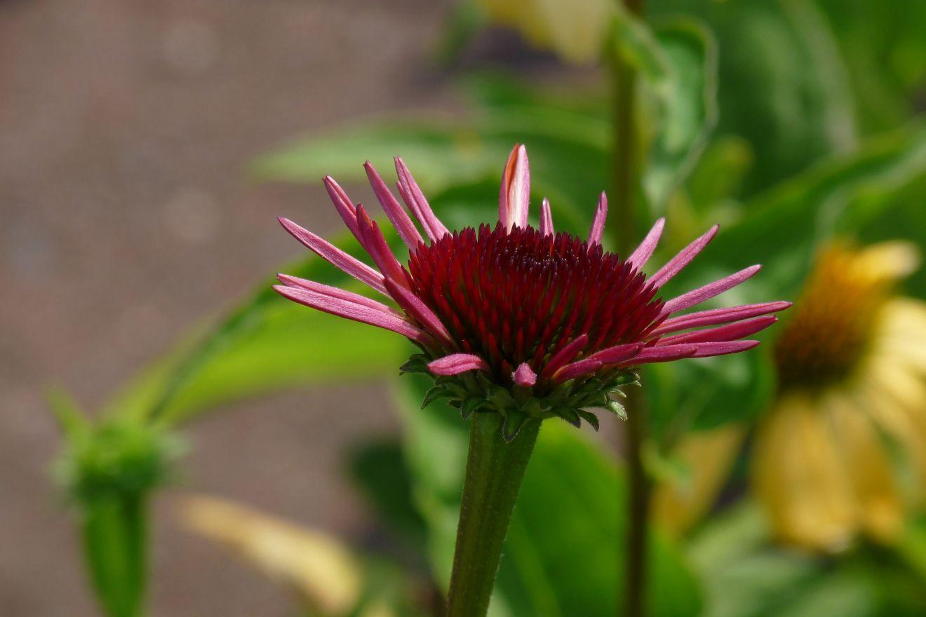 Echinacea 'Sundown' (Rode Zonnehoed)