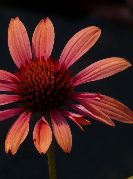 Echinacea purpurea 'Sundown' (Rode zonnehoed)