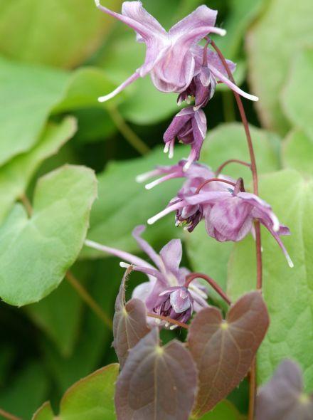 Epimedium grandiflorum 'Lilafee' (elfenbloem)