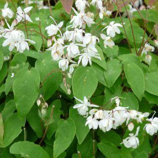 Epimedium youngianum 'Niveum' (Elfenbloem) - p9