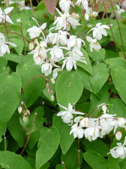 Epimedium youngianum 'Niveum' (Elfenbloem)