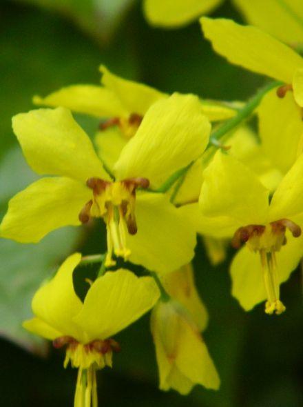 Epimedium pinnatum 'Colchicum' (Elfenbloem)