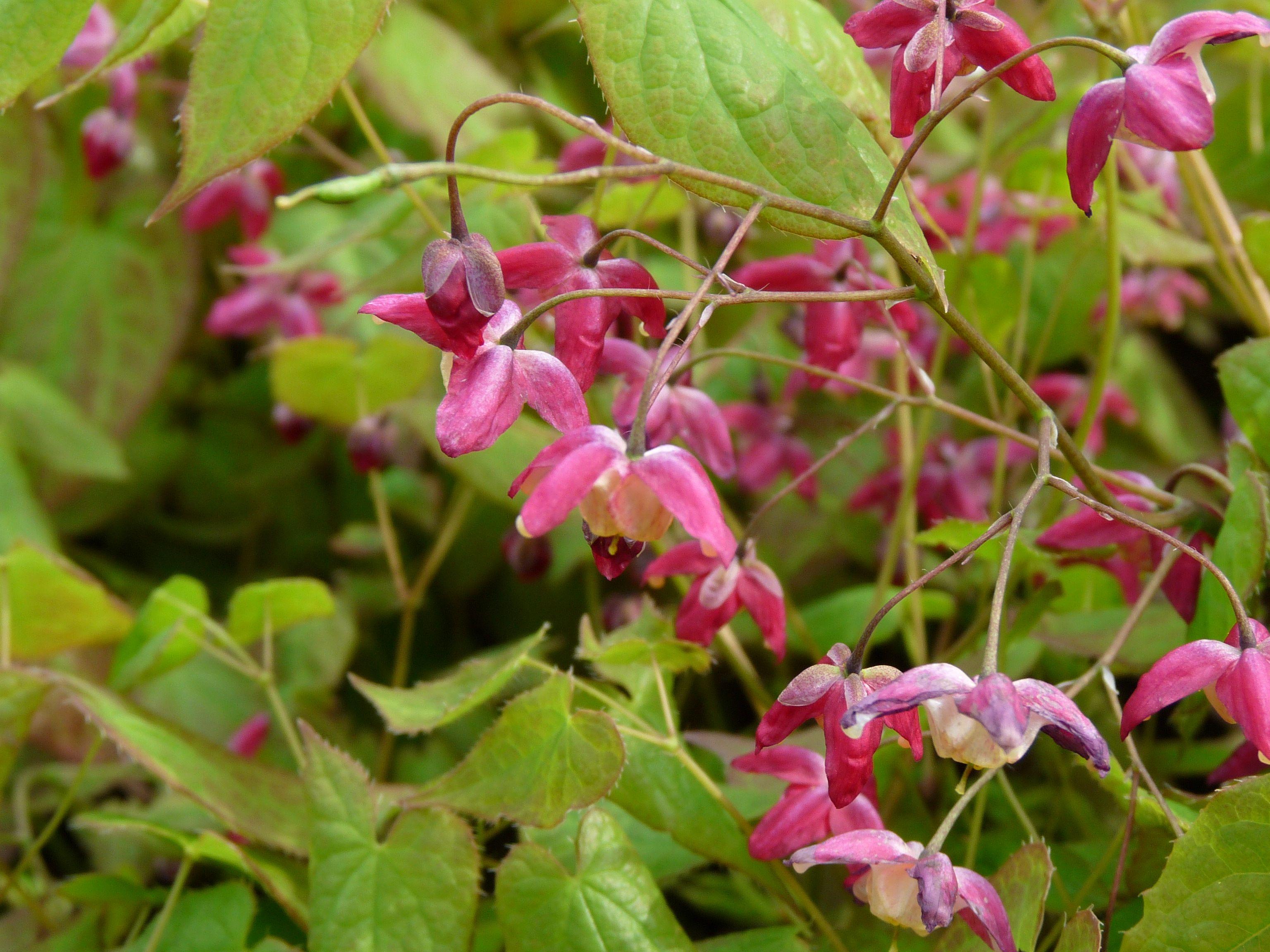 Epimedium rubrum (Elfenbloem) | De Tuinen van Appeltern